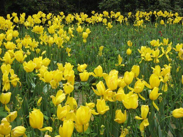 Gelbe Tulpen im Park. Dienstreise nach Yangzhou 扬州市, Slender West Lake 瘦西湖), China.