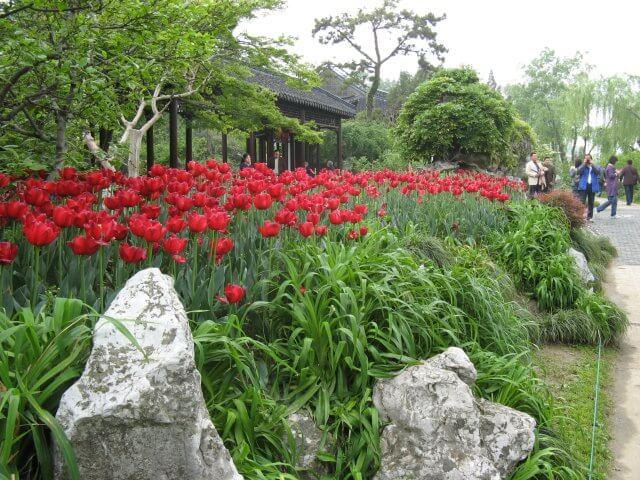 Rote Tulpen im Garten. Dienstreise nach Yangzhou 扬州市, Slender West Lake 瘦西湖), China.