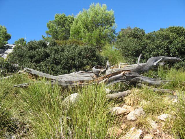 Stilleben mit Totholz. Wanderungen in der Bergwelt Mallorcas.