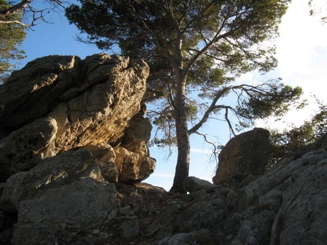 Baum auf Felsen. Wanderungen in der Bergwelt Mallorcas.