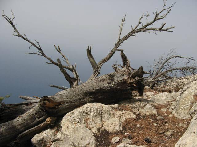 Ein toter Baum am Steilhang. Wanderungen in der Bergwelt Mallorcas.