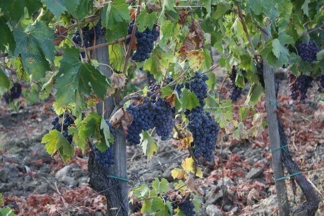 Weintrauben im Chianti. Toskana-Landschaft, Italien