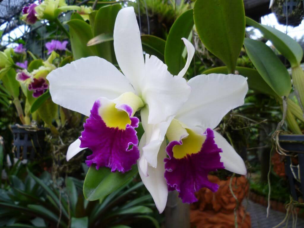 Blühende Orchideen in Nong Nooch - tropical botanical garden, Thailand.