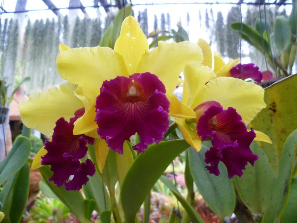 Traumhafte Orchideen im Nong Nooch - tropical botanical garden, Thailand.