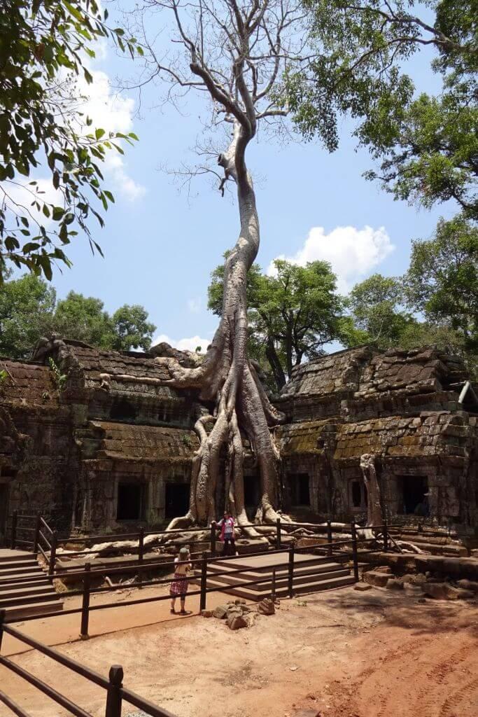 Baum wächst aus dem Ta Prohm, der Tomb Raider Tempel. Bilder und Eindrücke aus Kambodscha - Cambodia, Siem Reap, Angkor Wat, Sihanoukville und Phnom Penh.