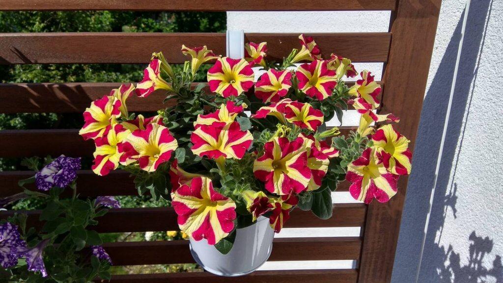 Blumen auf dem Balkon im Sommer. Hängepetunien.